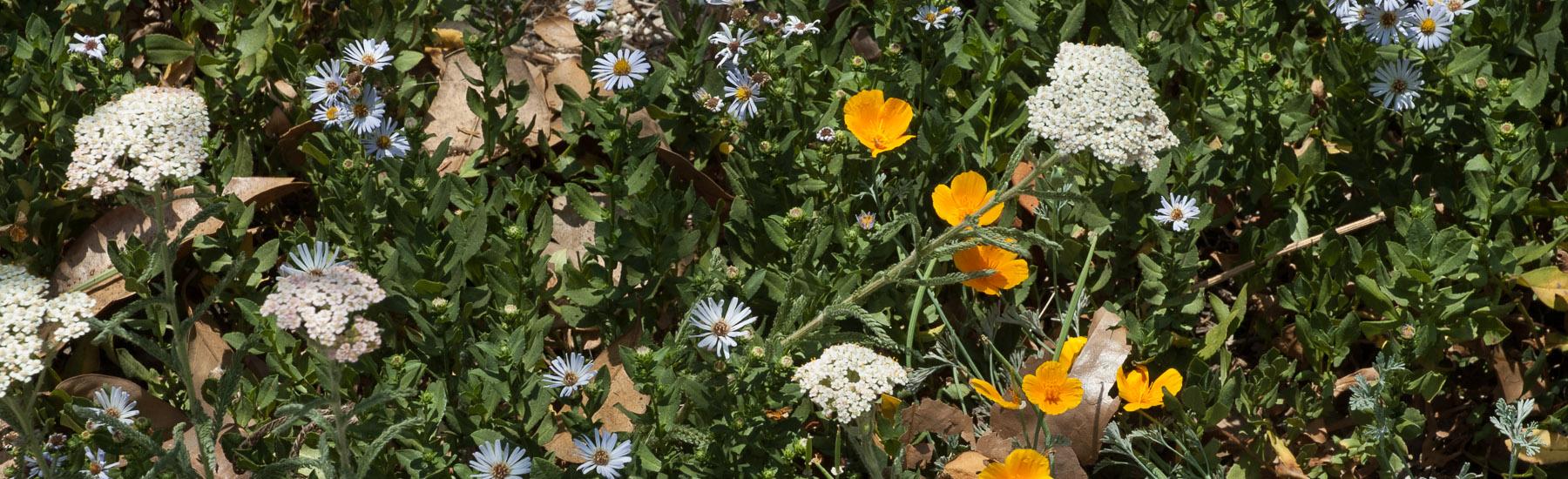 Achillea millefolium, Aster chilensis 'Point St. George', Eschsc