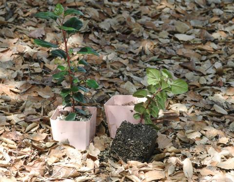 Catalina perfume (Ribes viburnifolium)