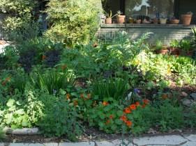 Veg garden, 10 weeks old