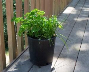 pot of herbs