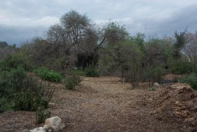 Mulch spread to suppress weeds.
