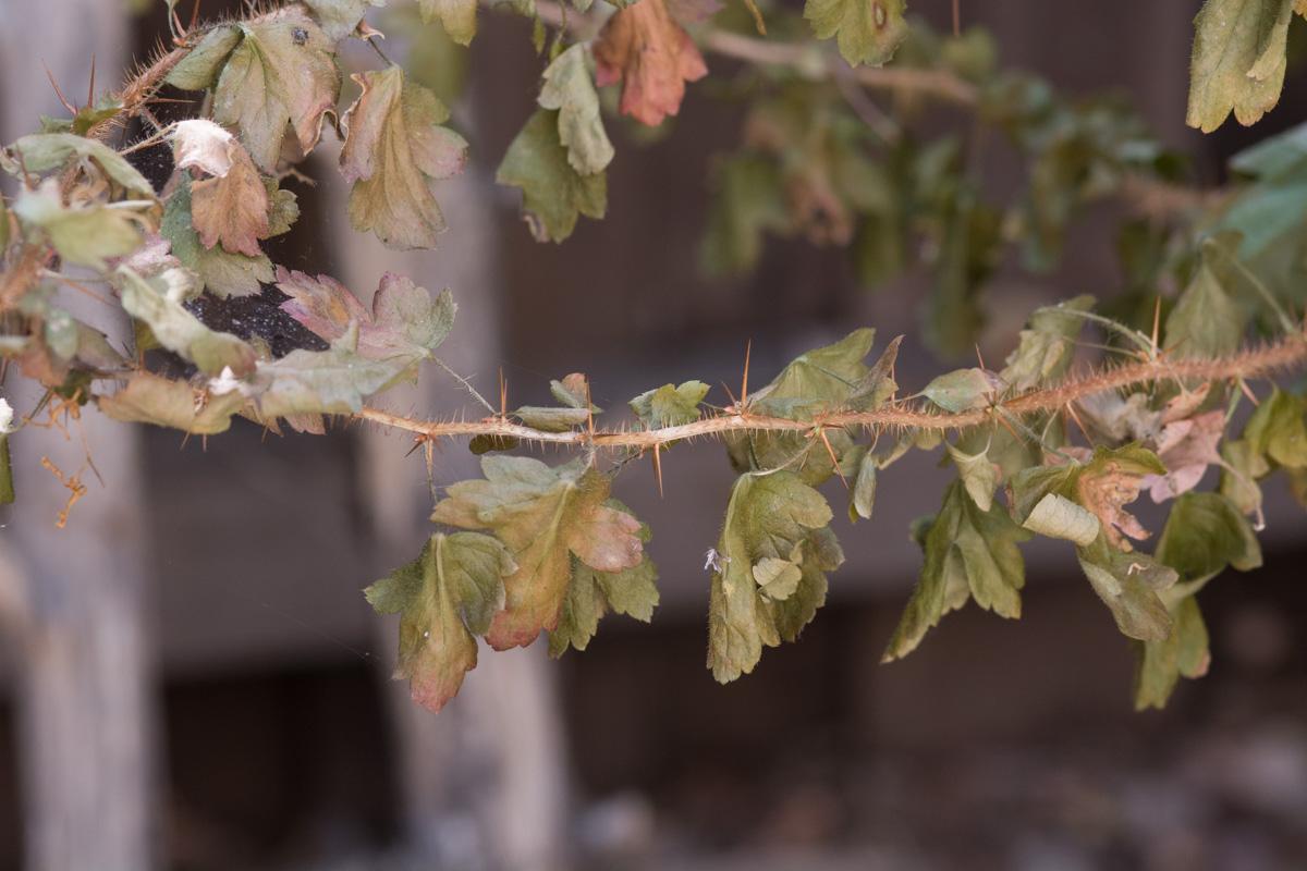 Fuchsia-flowering gooseberry