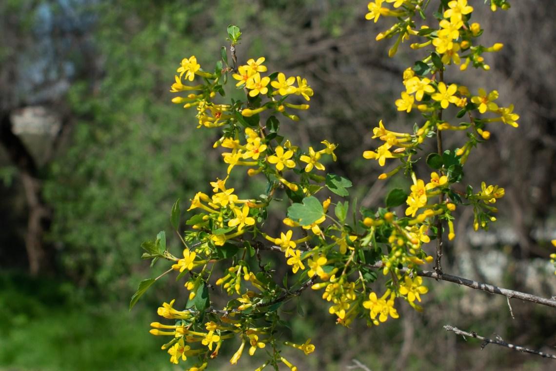 golden currant (Ribes aureum var. gracillimum)