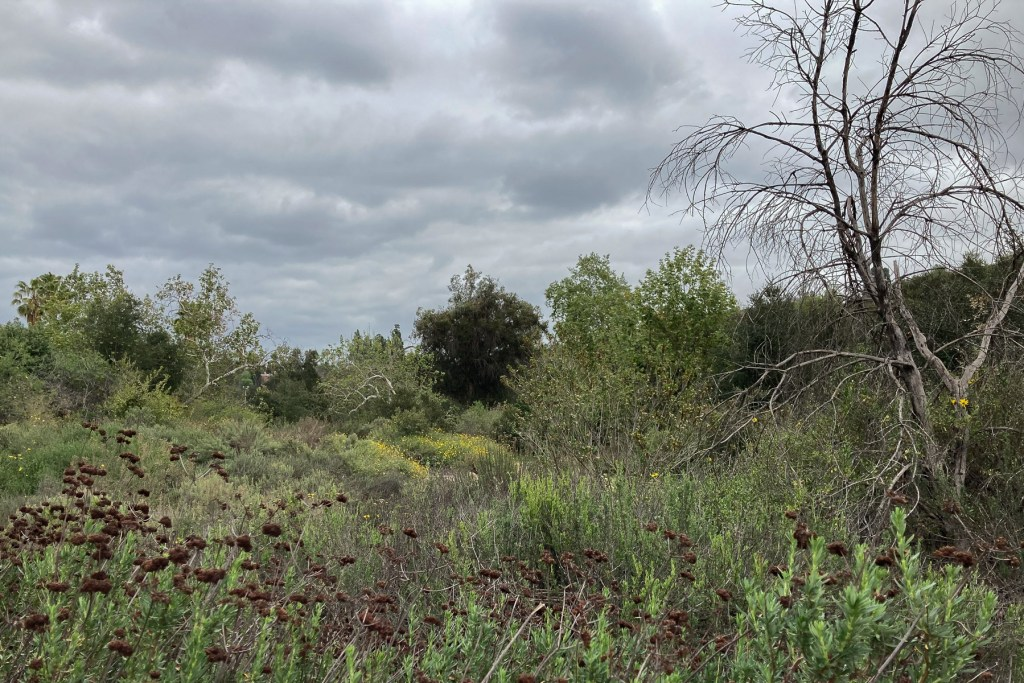 coastal sage scrub plants in nature park (March 2021)