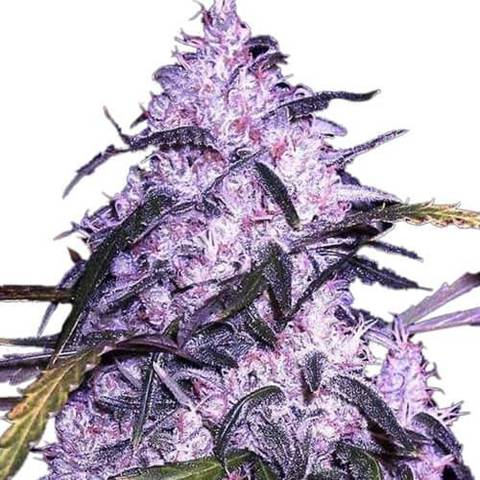 Buy Cannabis Seeds Australia