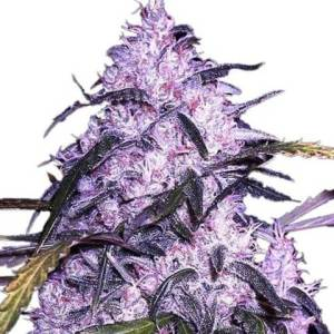 Buy Cannabis Seeds Australia