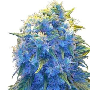 Buy Marijuana Seeds Australia