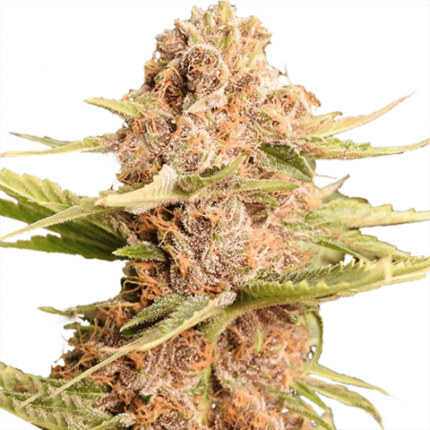 GSC Extreme