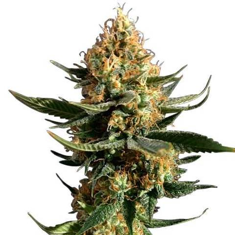 chemdawg seeds