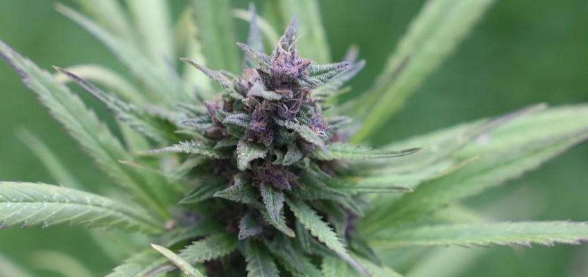 buy cannabis seeds ACT