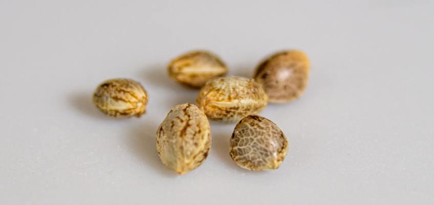 Barney's Farm Australia - Cannabis Seeds
