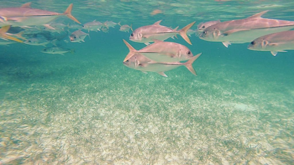 White Fish: Snorkelling in Caye Caulker