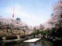 八幡山公園の桜