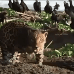Jaguar spotted on beach in Costa Rica VIDEO