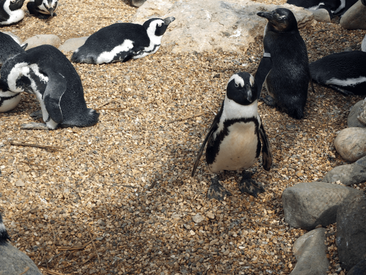 ZSL-penguins