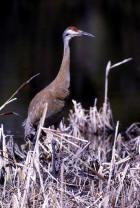 picture of  Sandhill Cranes
