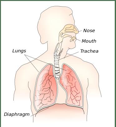 Pijn in de middenrug kan veroorzaakt worden door je middenrif of diafragma