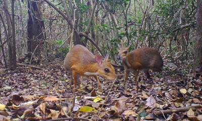 Mouse deer species not seen for nearly 30 years is found alive in Vietnam