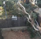 An Eye-Catching Tree Fall Blocks WeHo Sheriff's Station's Santa Monica Blvd. Entrance