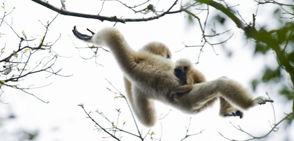 Greedy female monkey-branching to a stronger, better provider