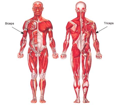 arm muscles diagram