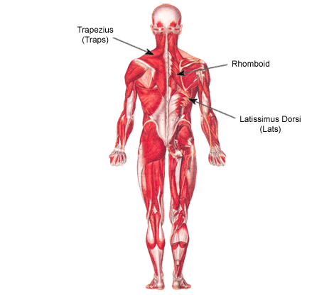 back muscles diagram