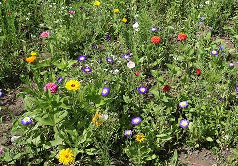 Welche Blumen Blhen Im August Good Welche Blumen Blhen Im