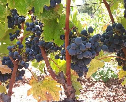 Bildergebnis für traubensorte Galotta