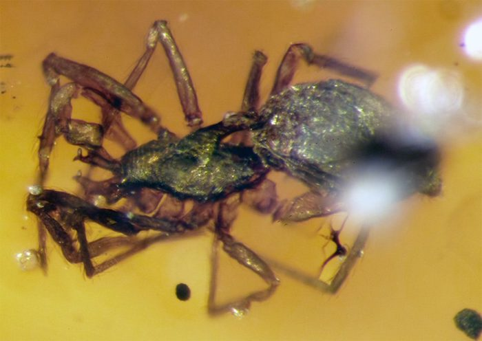 Weird 99 million year old spiders trapped in amber