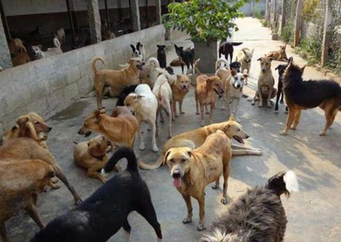 stray dogs in india