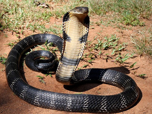 king cobra snake india drink water bottle drought