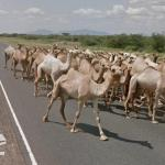 Camel Traffic, Meru County, Kenya