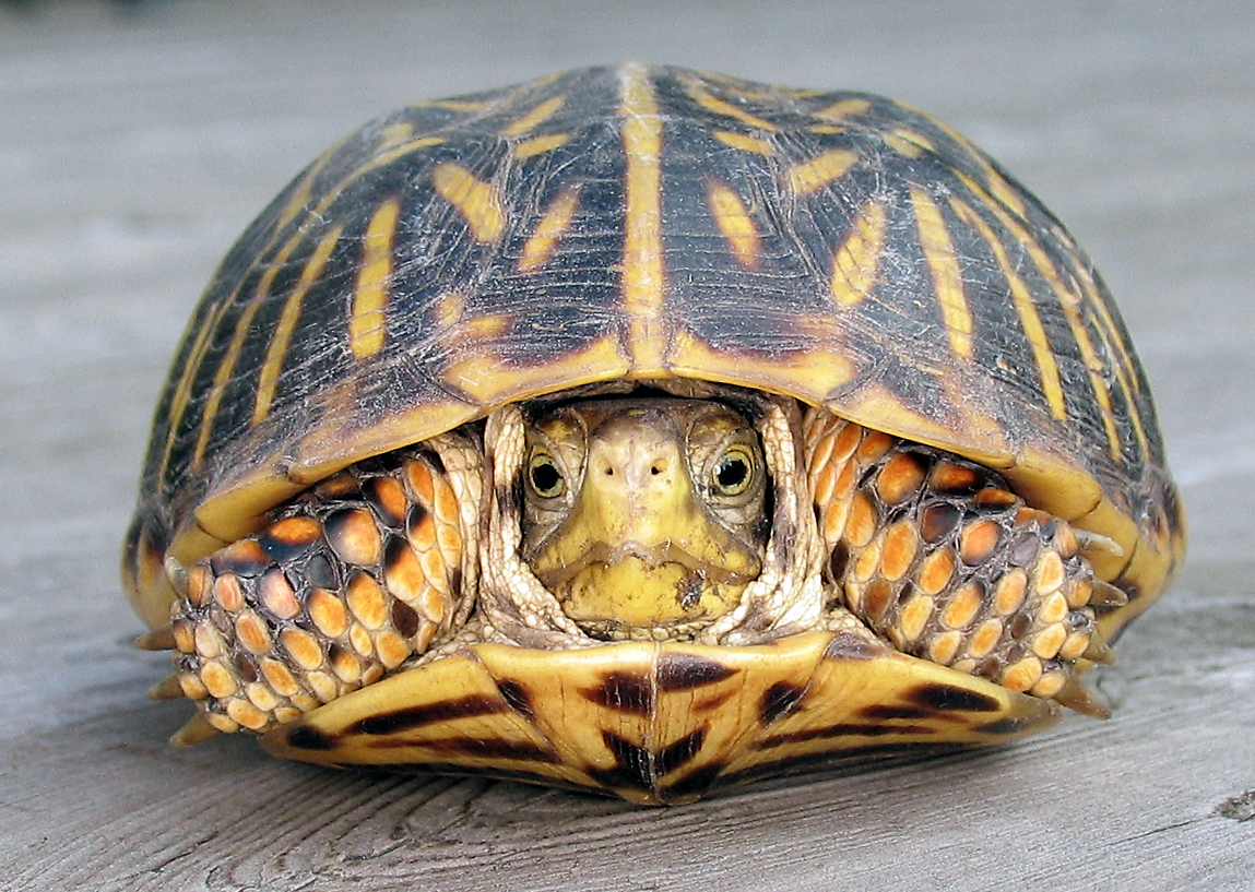 diagram turtle s head what is a bar all about box turtles welcome wildlife front view of female with her pulled mostly inside the shell