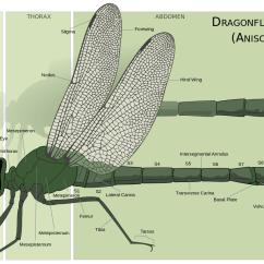 Dragonflies Eye Diagram Set Theory And Venn Diagrams About Damselflies 39top Guns 39 Of The