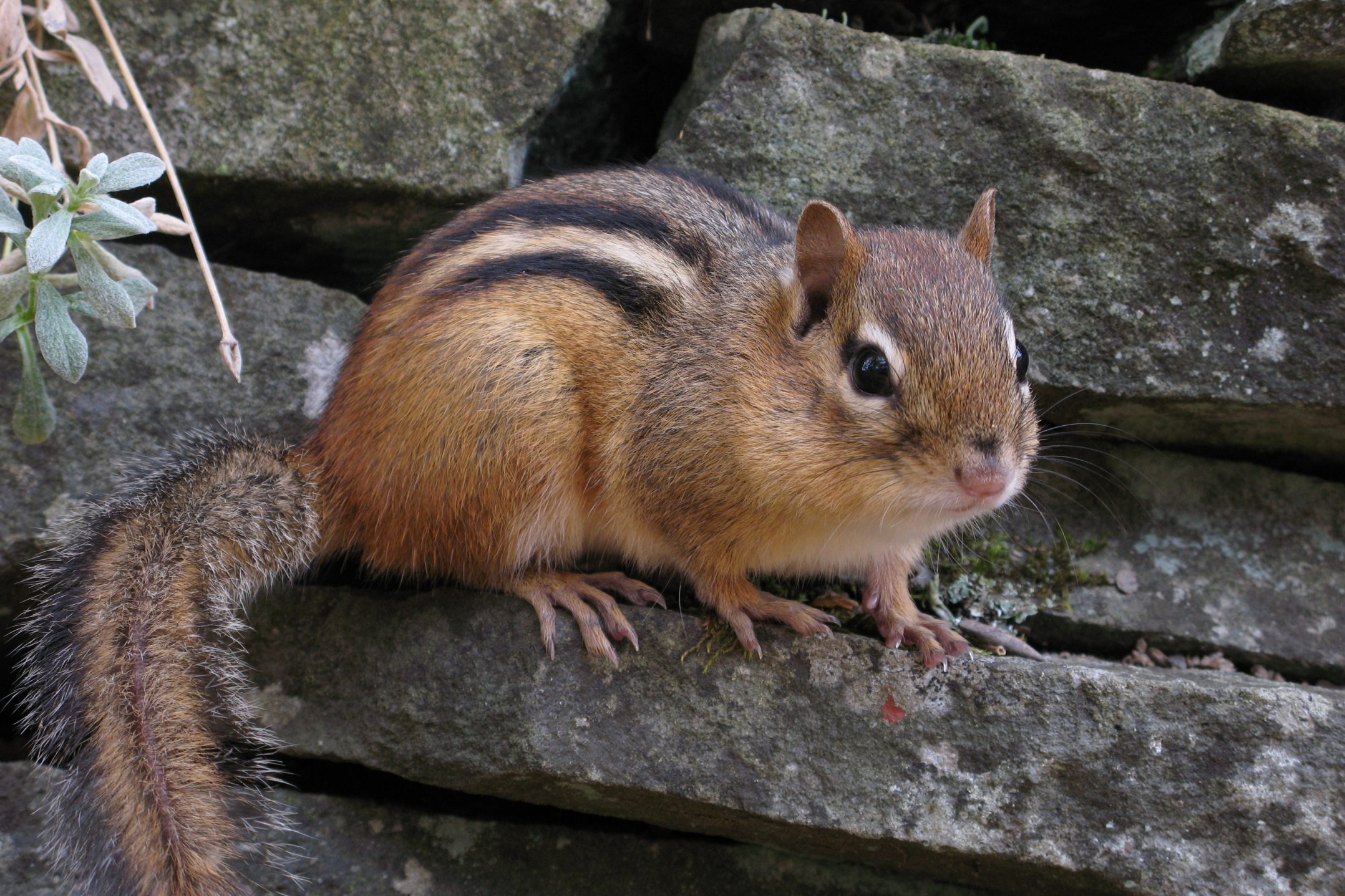 about chipmunks welcome wildlife