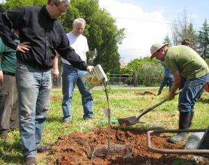 marvy adds organic fertilizer to the fig tree sapling