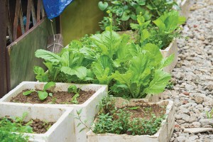 Vegetable grown in spongy boxes at home to make clean vegetable, the way to avoid eating chemical infected vegetable from market in Asian