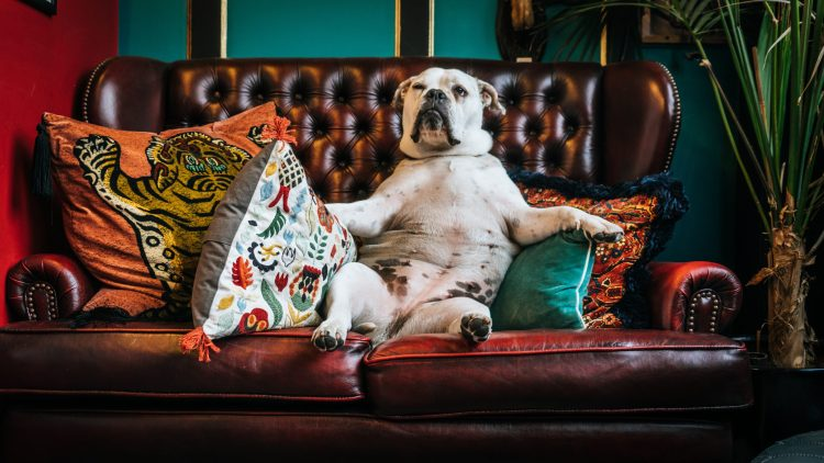 adult white American bulldog sitting on couch