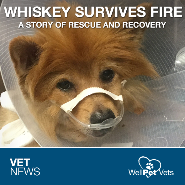 WHISKEY THE POMERANIAN SURVIVES HOUSE FIRE