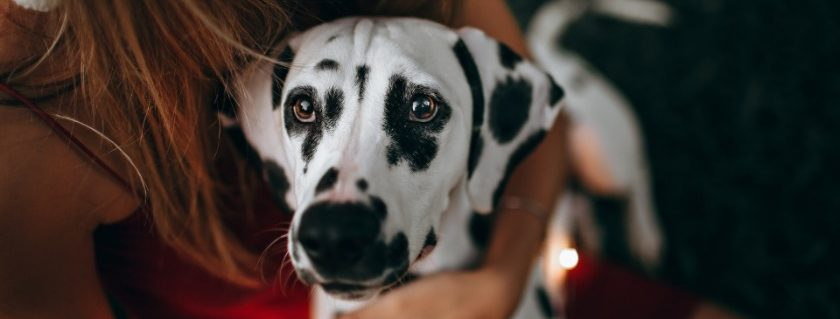 8 Best Dog Food For Dalmatians Review + Tips [2020 Upd]