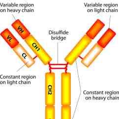 Diagram Of How Vaccines Work Gmc Truck Wiring Diagrams Antibiotics For