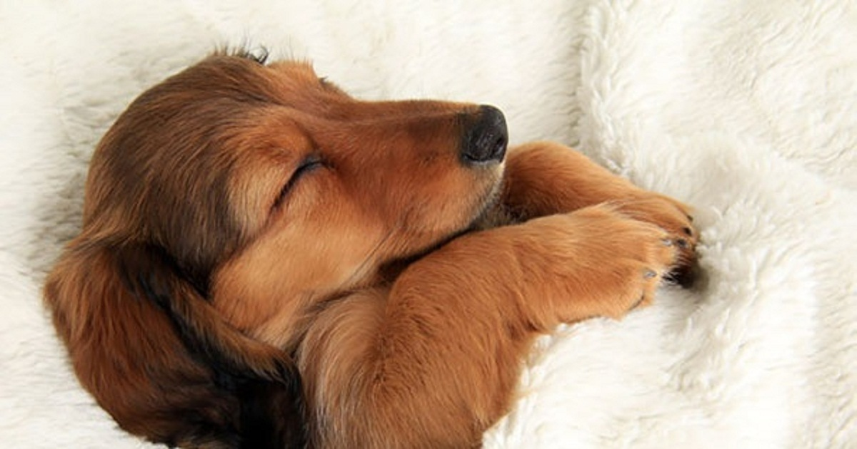 Cute Dachshund Wallpaper Dogs Who Have No Intention Of Giving Back Their Owner S