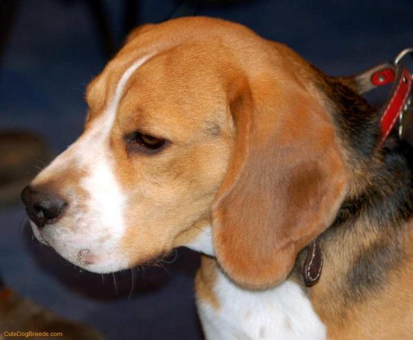 Love Beagles Ultimate Guide Archive Beagle