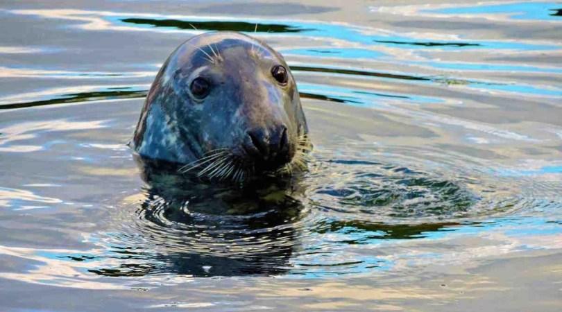 Wales wildlife - Grey Seal