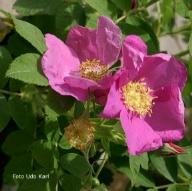 Wildrosen Rose e Trkische Rose gyptische Rose Persische Goldrose Fuchsrose Essigrose