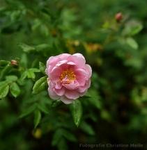 Wildrosen Rosa s Stachelbeerrose Borstenrose Filzrose Flaumrose Apfelrose Glanzrose