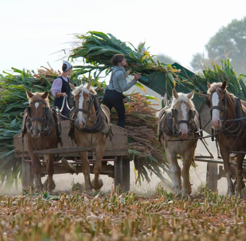 Horse and muscle power instead of harvesters: the Amish move a lot in everyday life. This is also good for your health