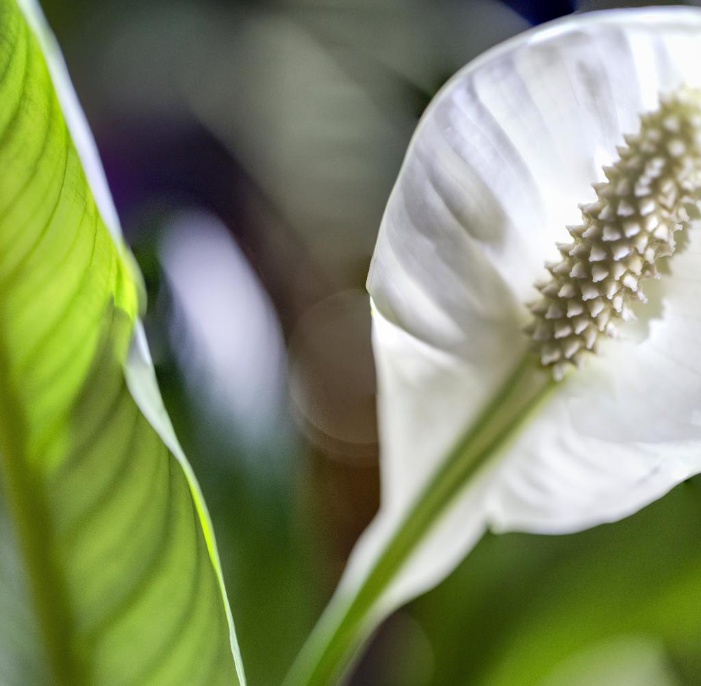 Backlit macro flower Peace Lily blossom daylight