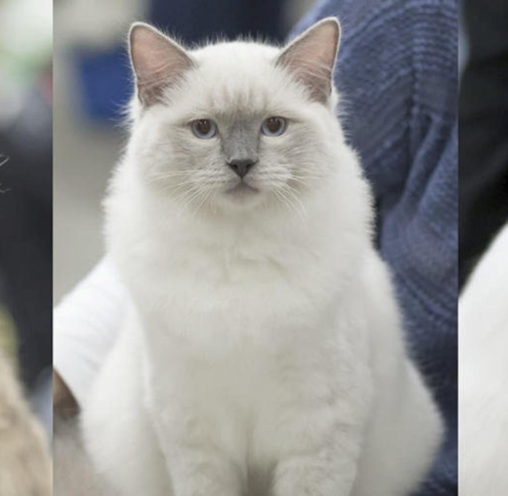 Der Charakter Einer Katze Hängt Von Ihrer Rasse Und Den