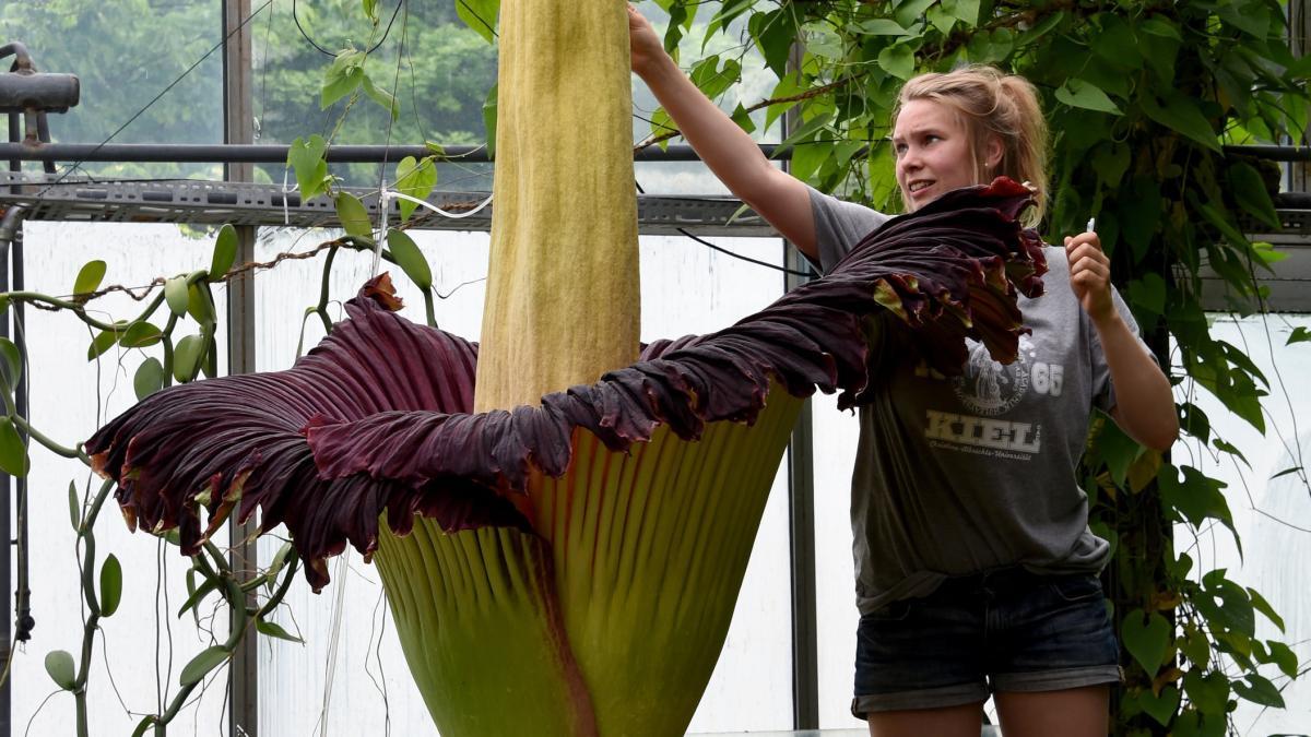 Titanwurz Seltene Blume blht in Kiel  und stinkt bestialisch  WELT
